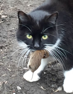 Photograph of a Farm Cat at Lincolnshire Trust for Cats